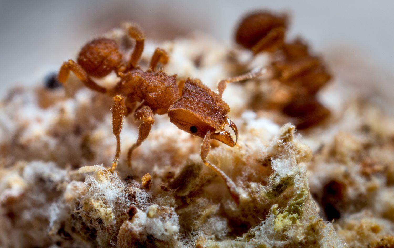 fungus-farming-ant