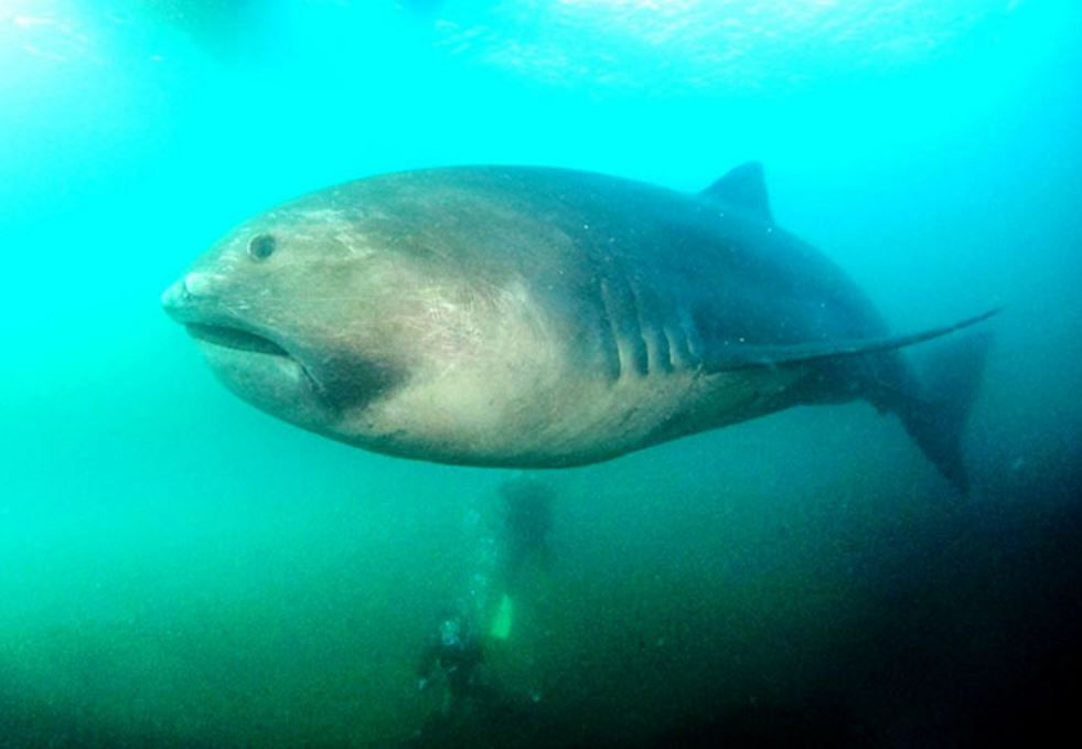 Video: Incredibly Rare Megamouth Shark Freed From Net, Before Dying
