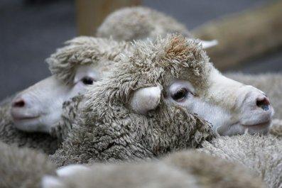 sheep artificial intelligence pain AI