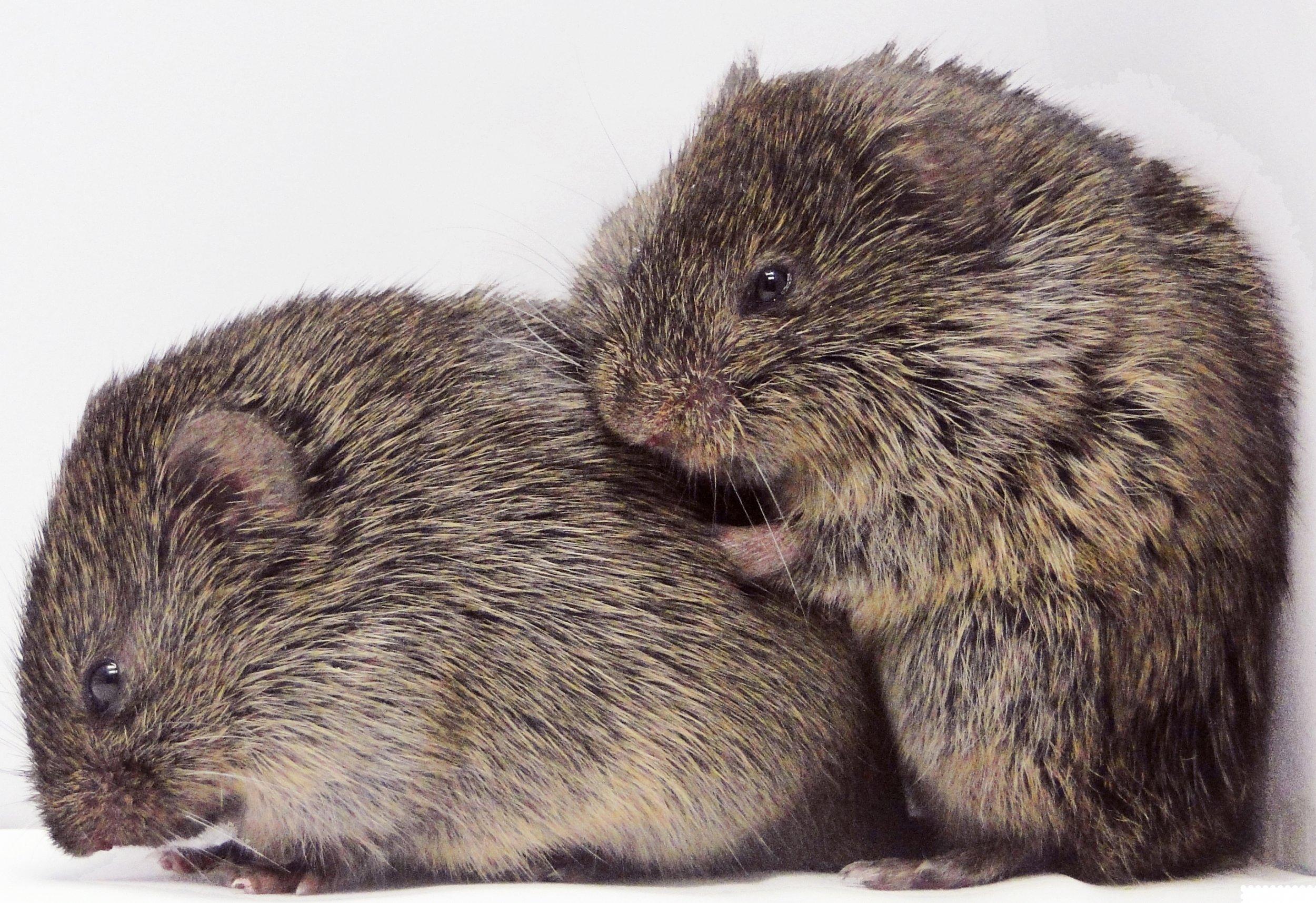 male and female vole