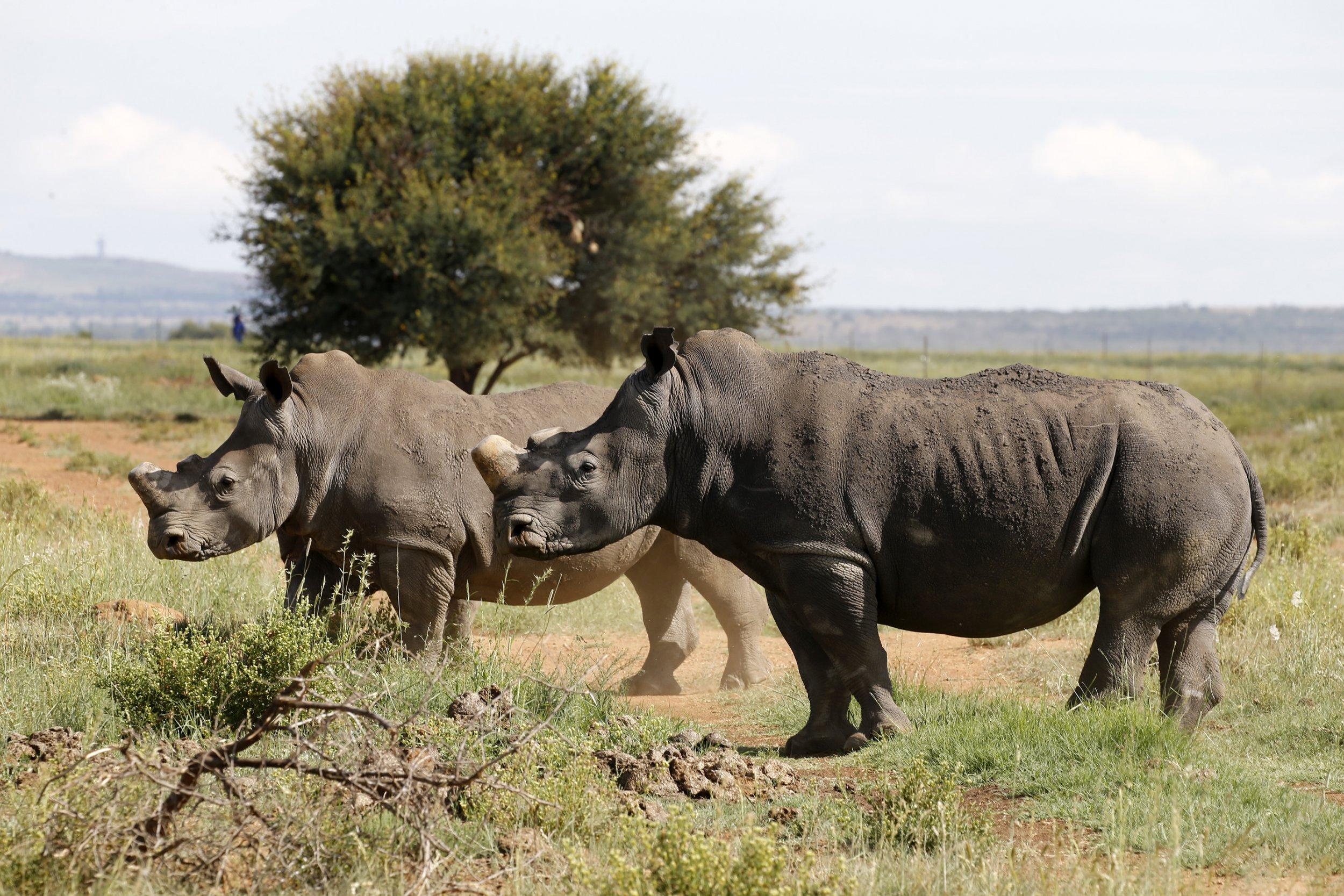 Black rhinoceros South Africa