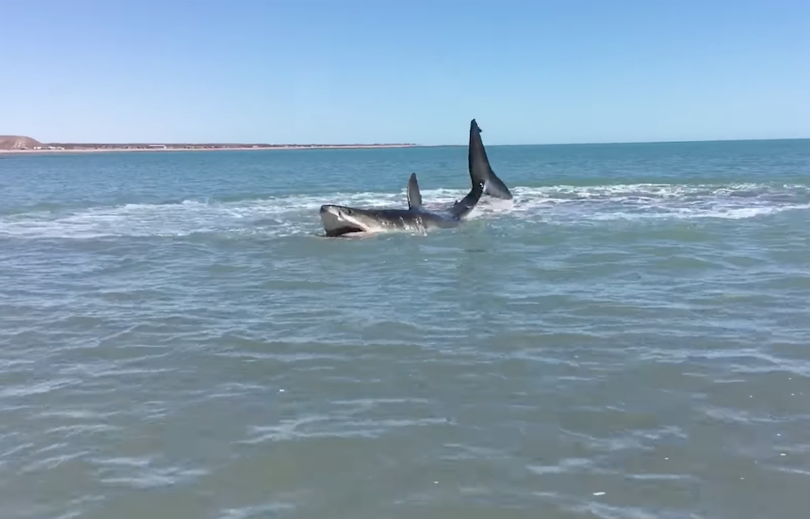 Shark Attacks 2017: Massive Great White Filmed From Feet Away in Shallow Waters