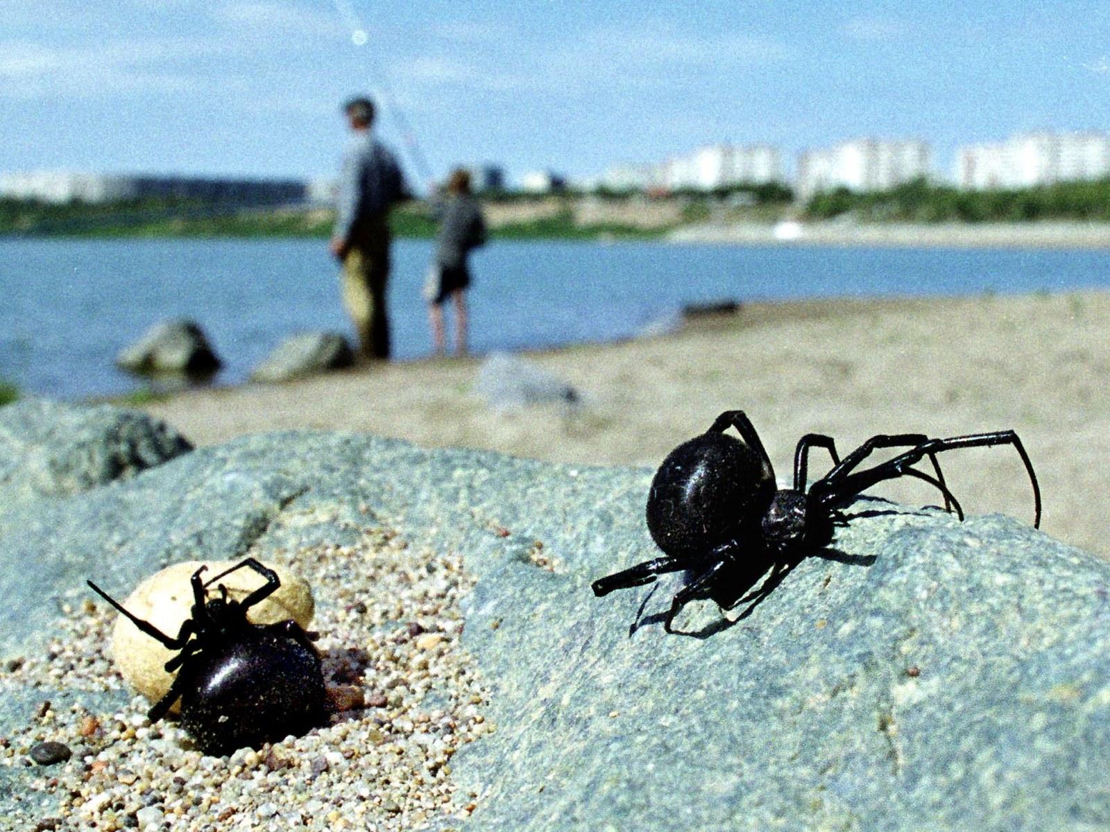 Black Widow Spider Bites Massachusetts Child Parents Issue Warning