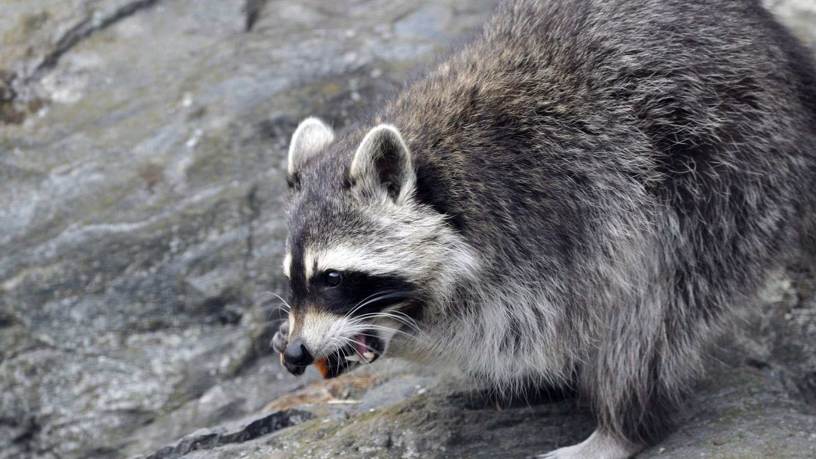 Woman Drowns Raccoon to Save Her Thumb In The Ultimate Tale