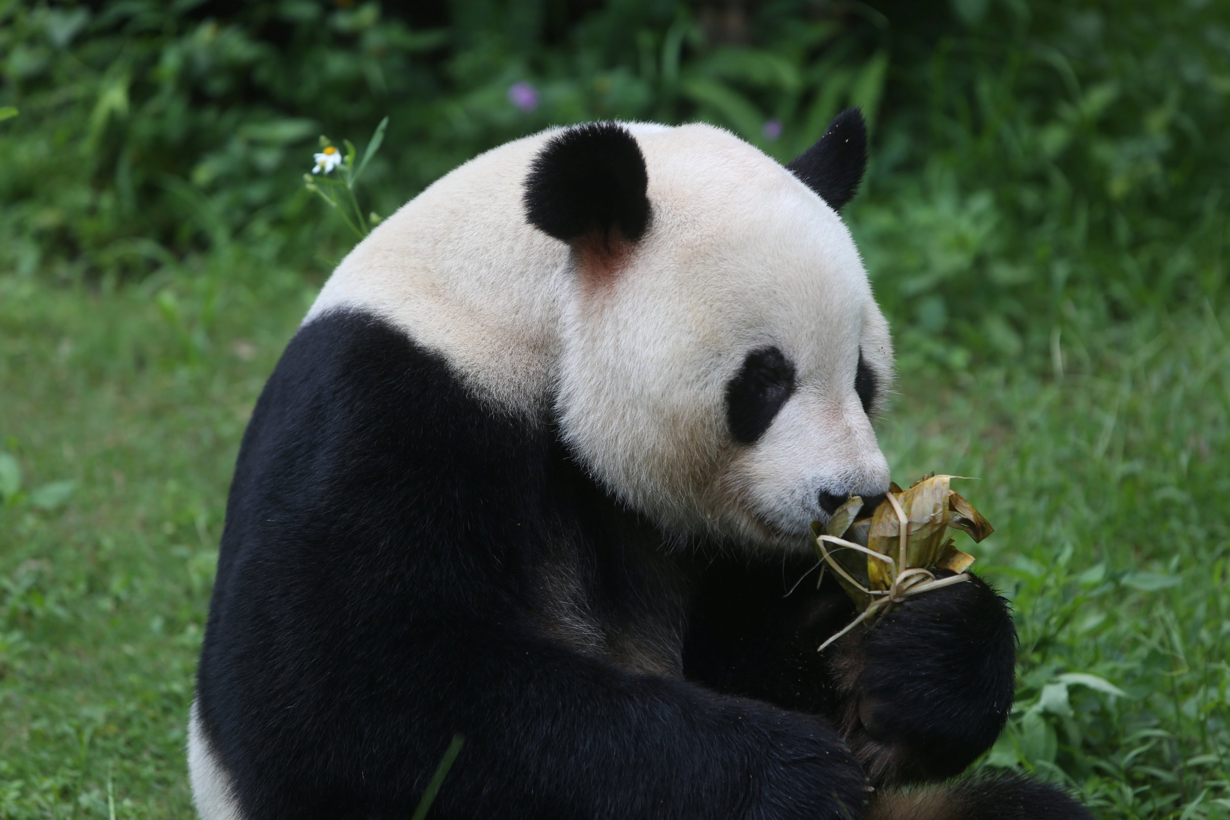 porn is the key to making pandas breed expert tells