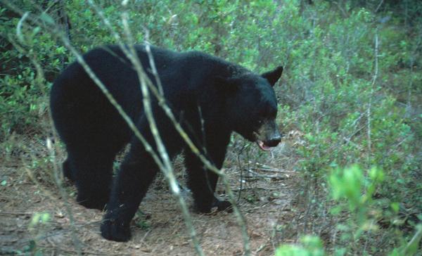 A black bear in Alaska kills a 16-year-old boy during a mountain race