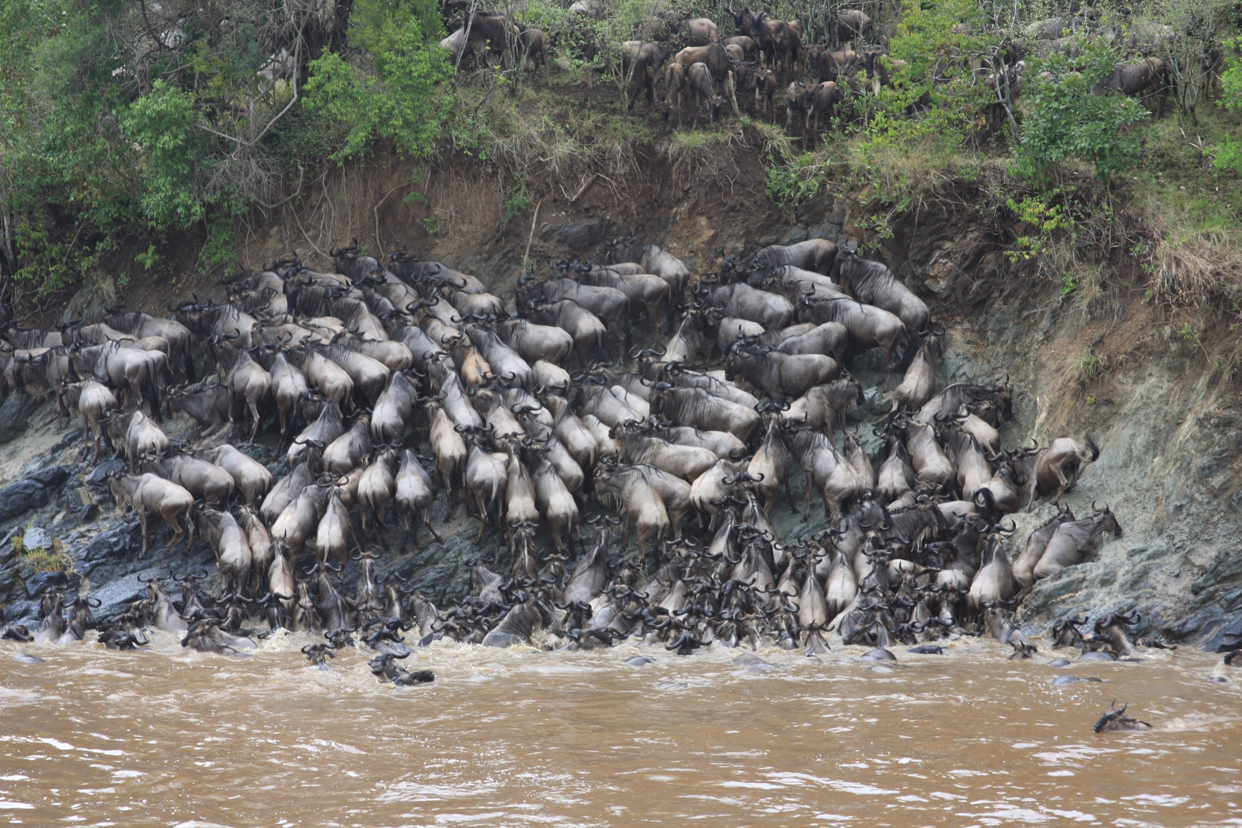 How the Serengeti ecosystem depends on mass drownings of wildebeest