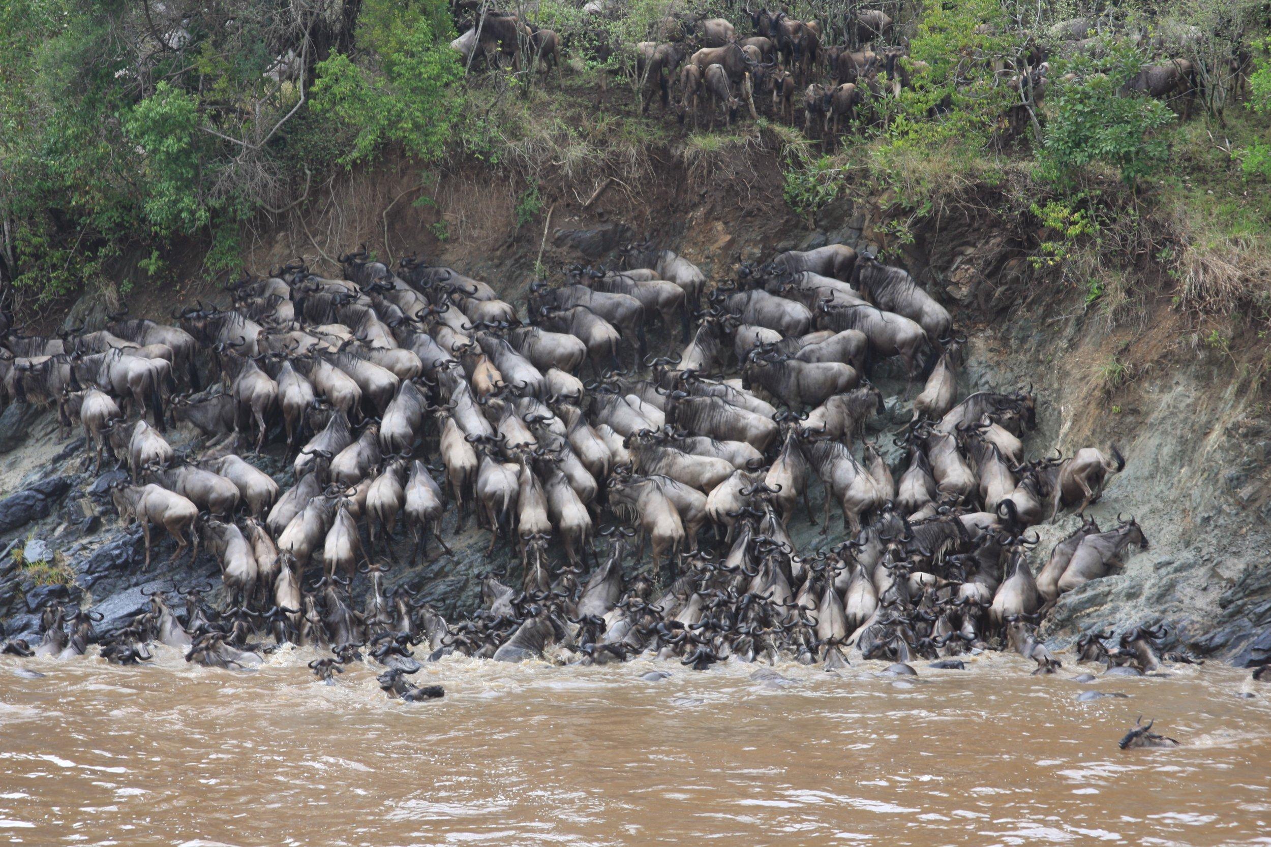 wildebeest-drowing