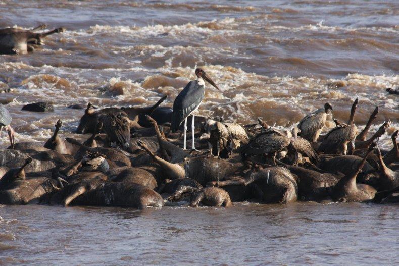 drowned-wildebeest