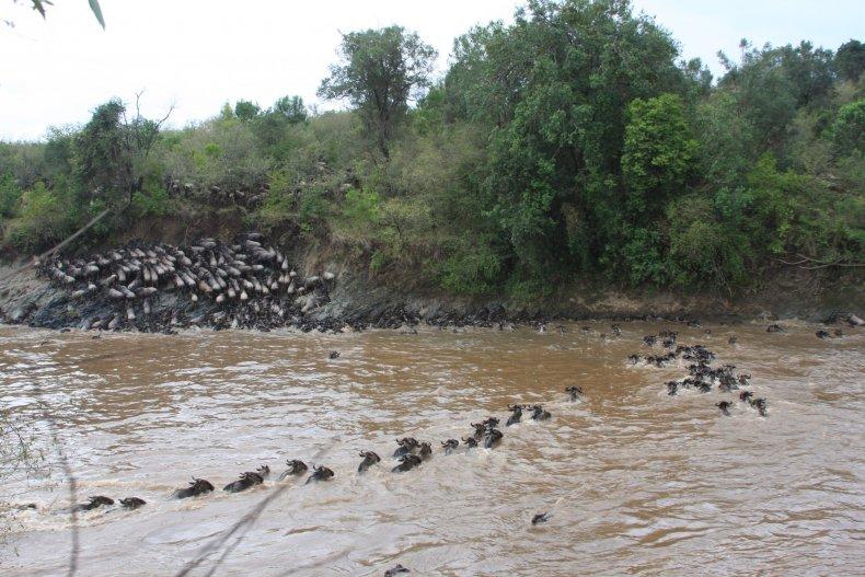 wildebeest-swimming