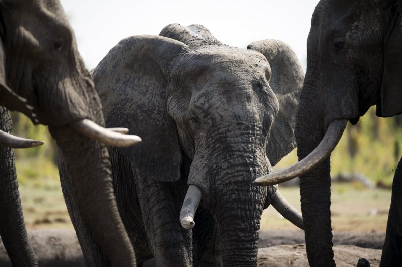 African elephants Hwange