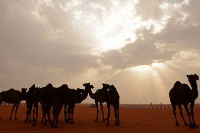 Saudi Arabian Camels