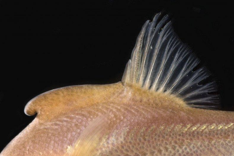 Sinocyclocheilus+cyphotergous%2C+Image+No3