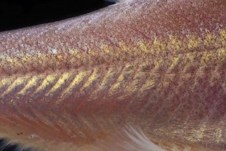 Sinocyclocheilus+cyphotergous%2C+Image+No4