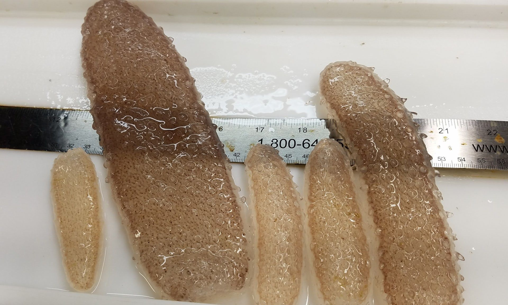 sea-pickles