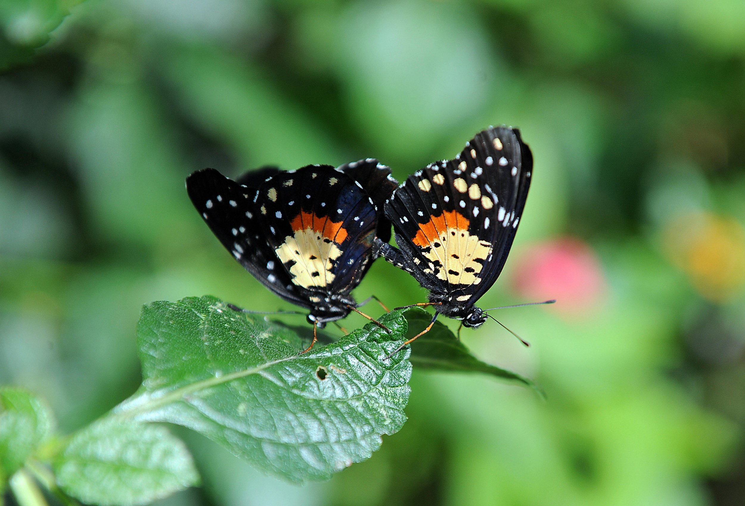 What is the term butterfly sex
