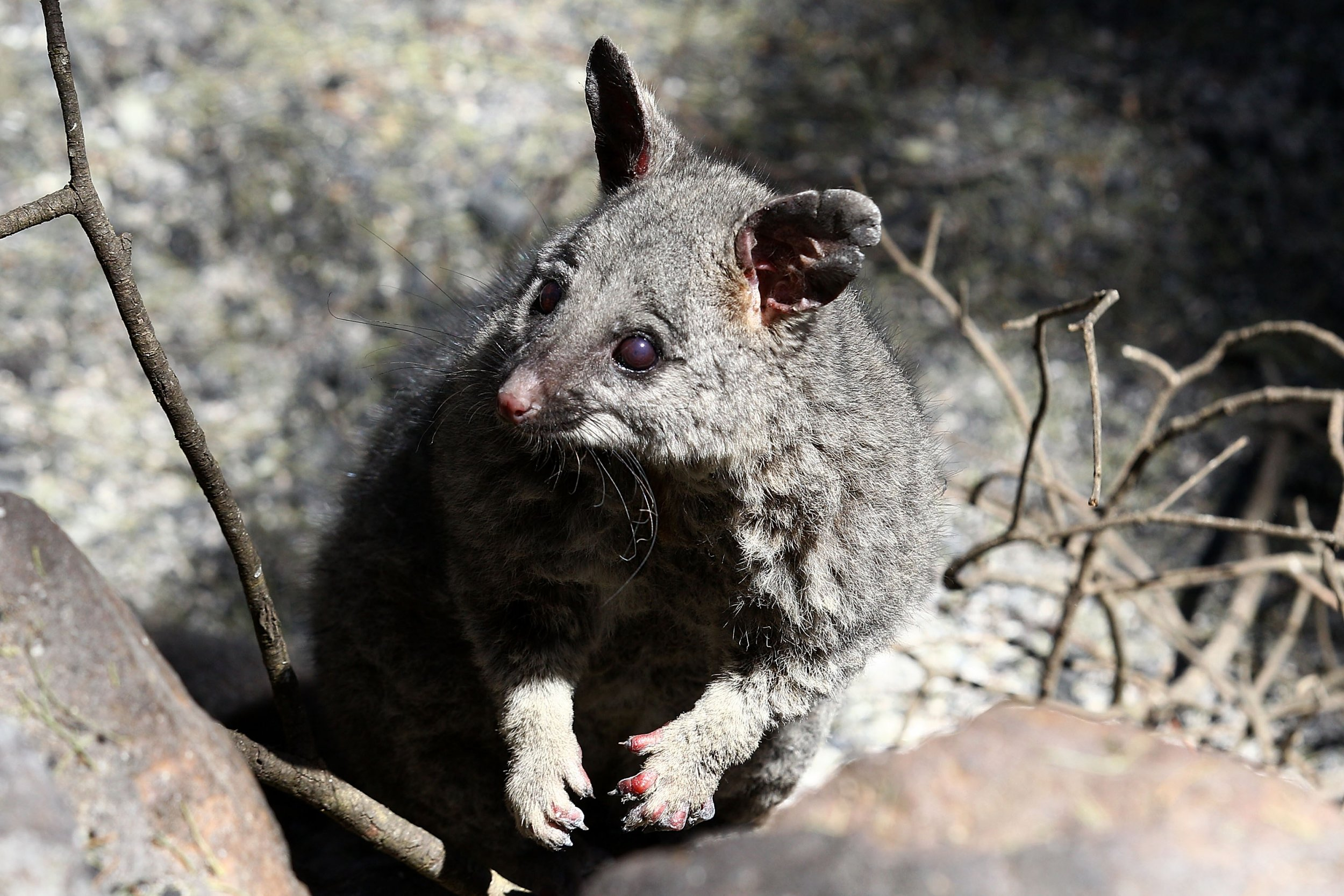 australian_possum