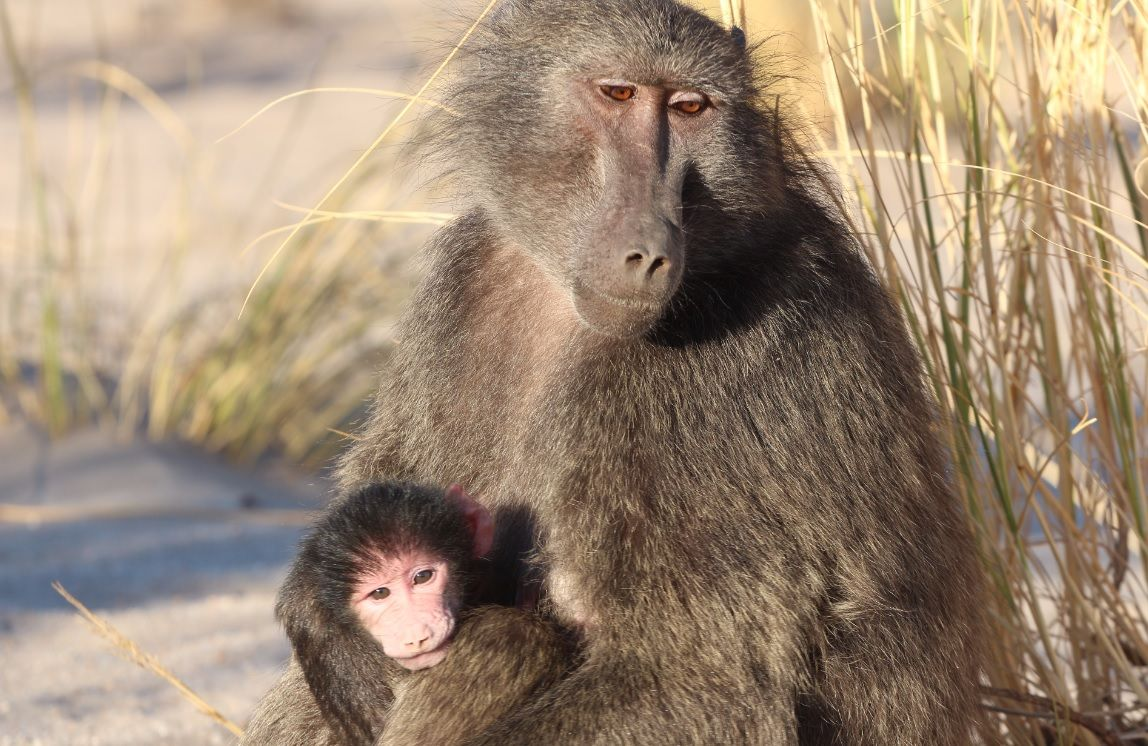 Evolution of Sexual Intimidation: Male Baboons Beat up ...