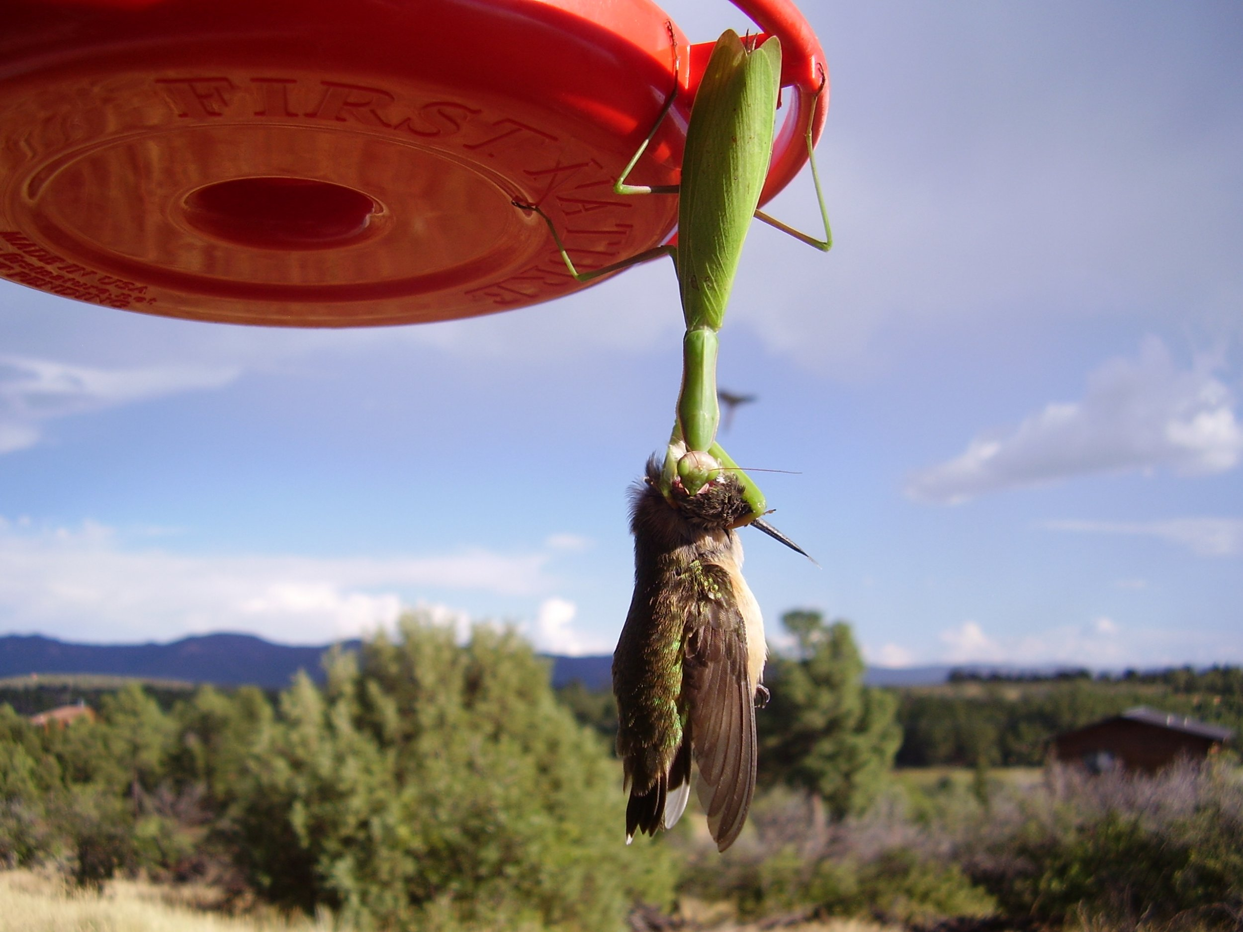 Praying Mantises Can Kill Birds And Eat Their Brains All Around