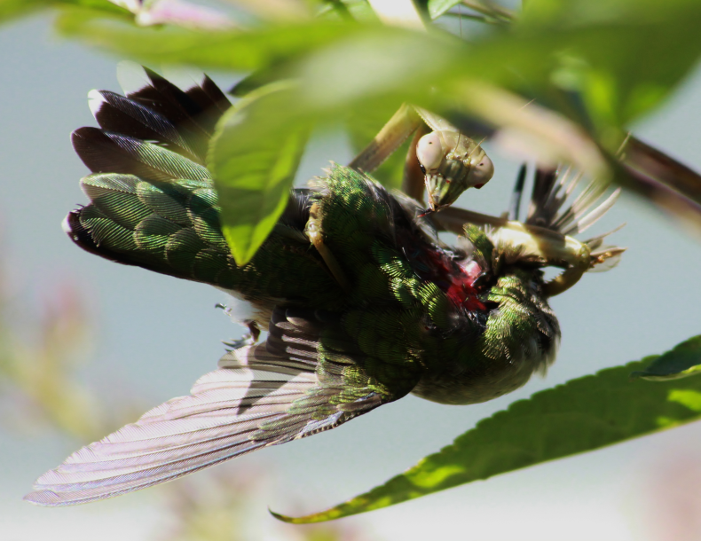 mantis-hummingbird