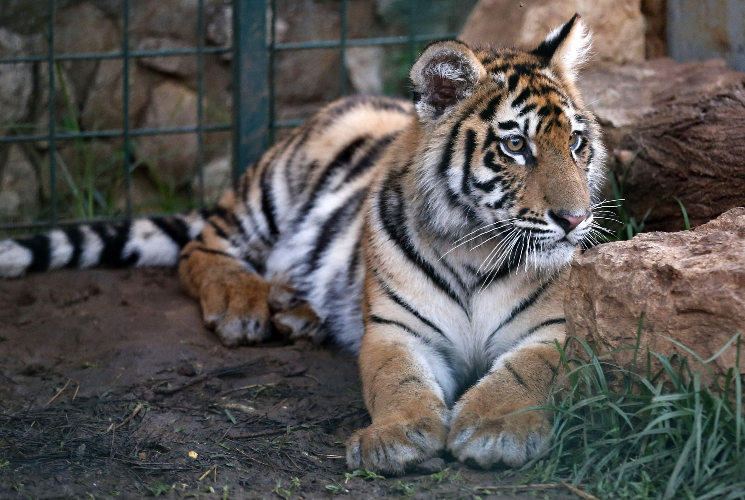 Rescued Tigers in France