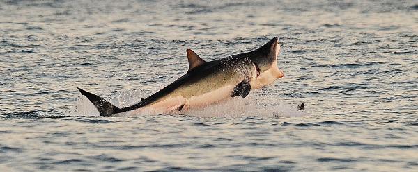 A Great White Shark attacks a kayaker in Santa Cruz