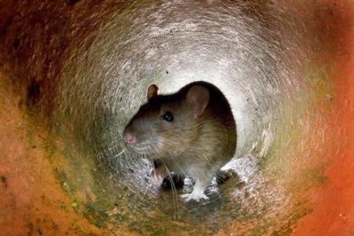 7-12-17 Rat