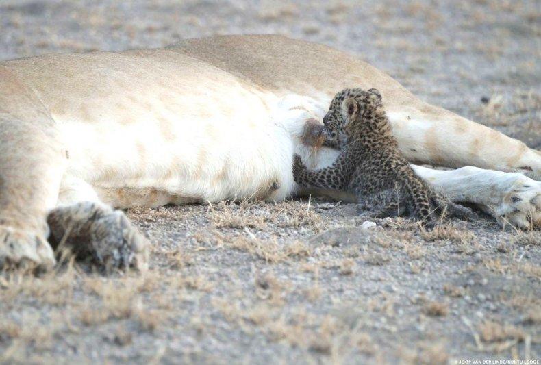 leopard-cub-suckling