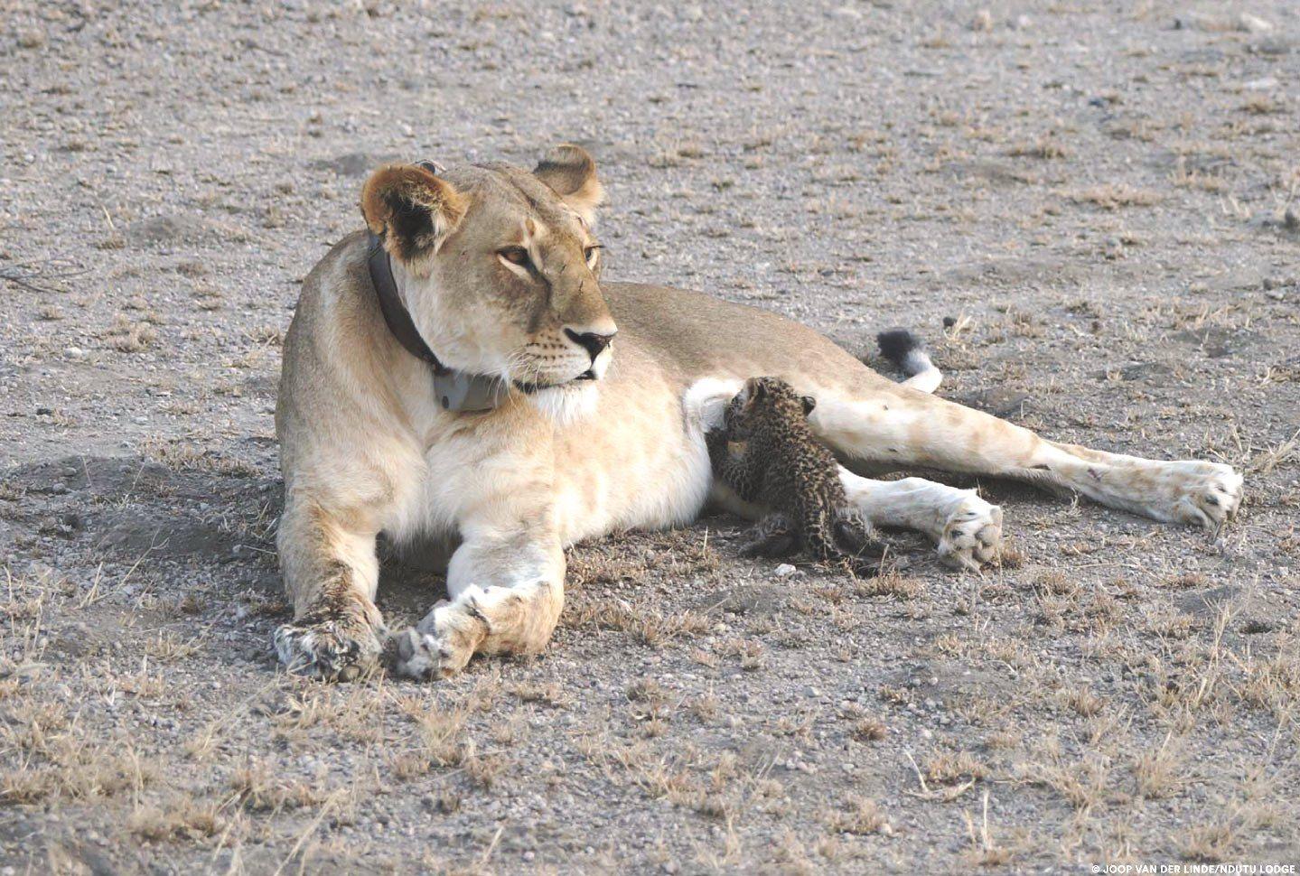 lioness-leopard