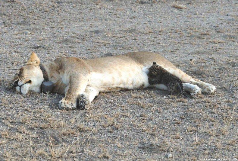 lioness-leopard-2