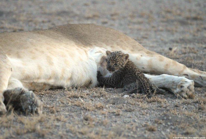 leopard-cub-nursing