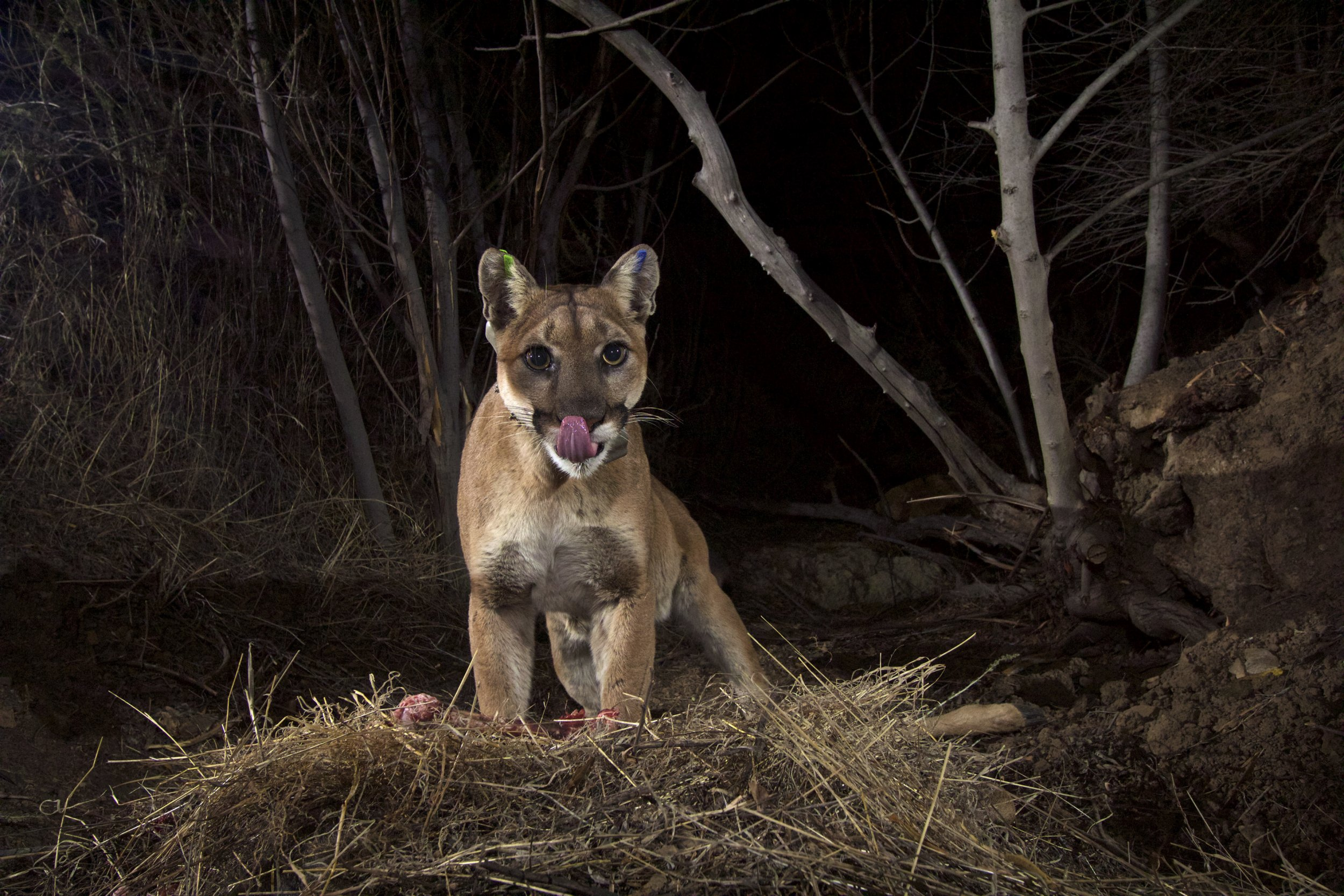This is likely not the same mountain lion that crashed through a woman s  apartment and landed ... 1305d4346b