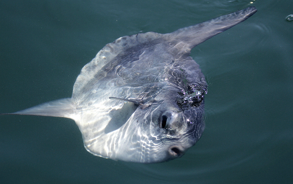 Giant sunfish found in New Zealand is the first new species discovered in 130 years
