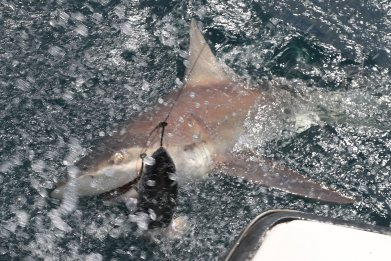 Shark in Florida