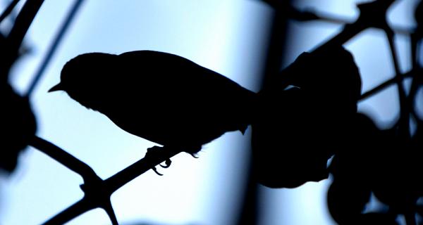 An extinct species of songbird fossils were found in the Azores
