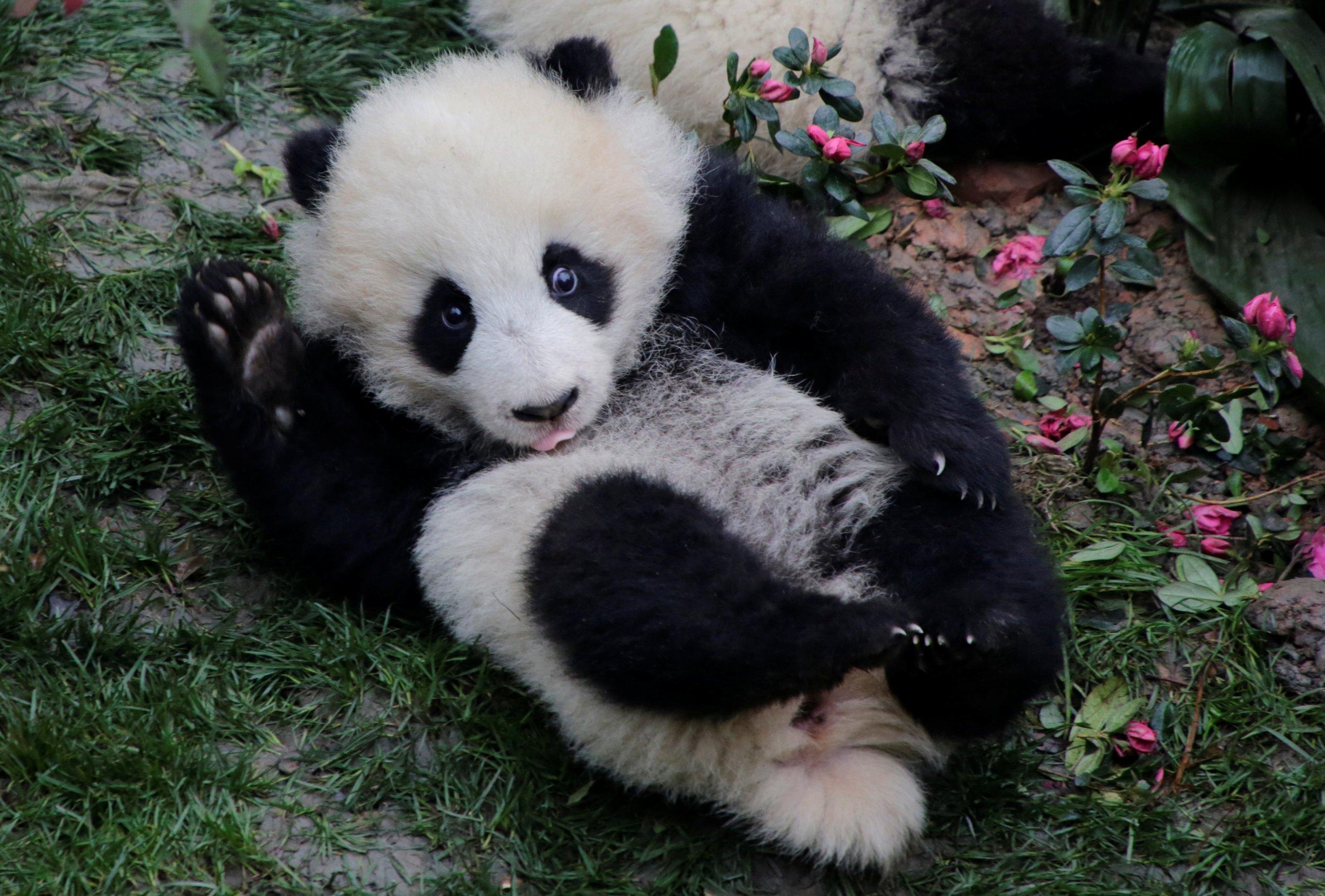 cute baby panda cubs