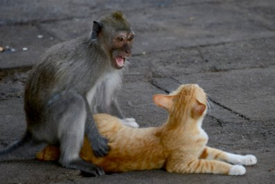 Indonesia's mischievious macaques
