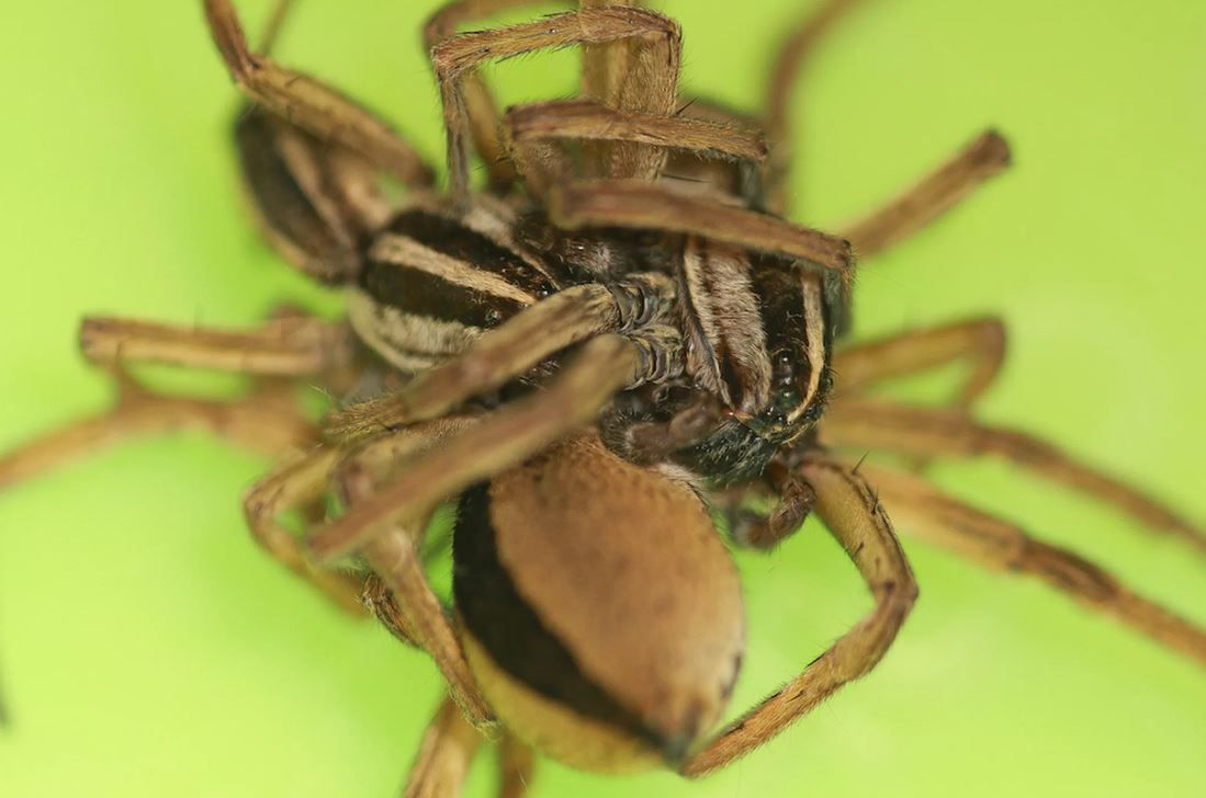Freaky Spiders Engage In Threesomes To Avoid Being Cannibalized