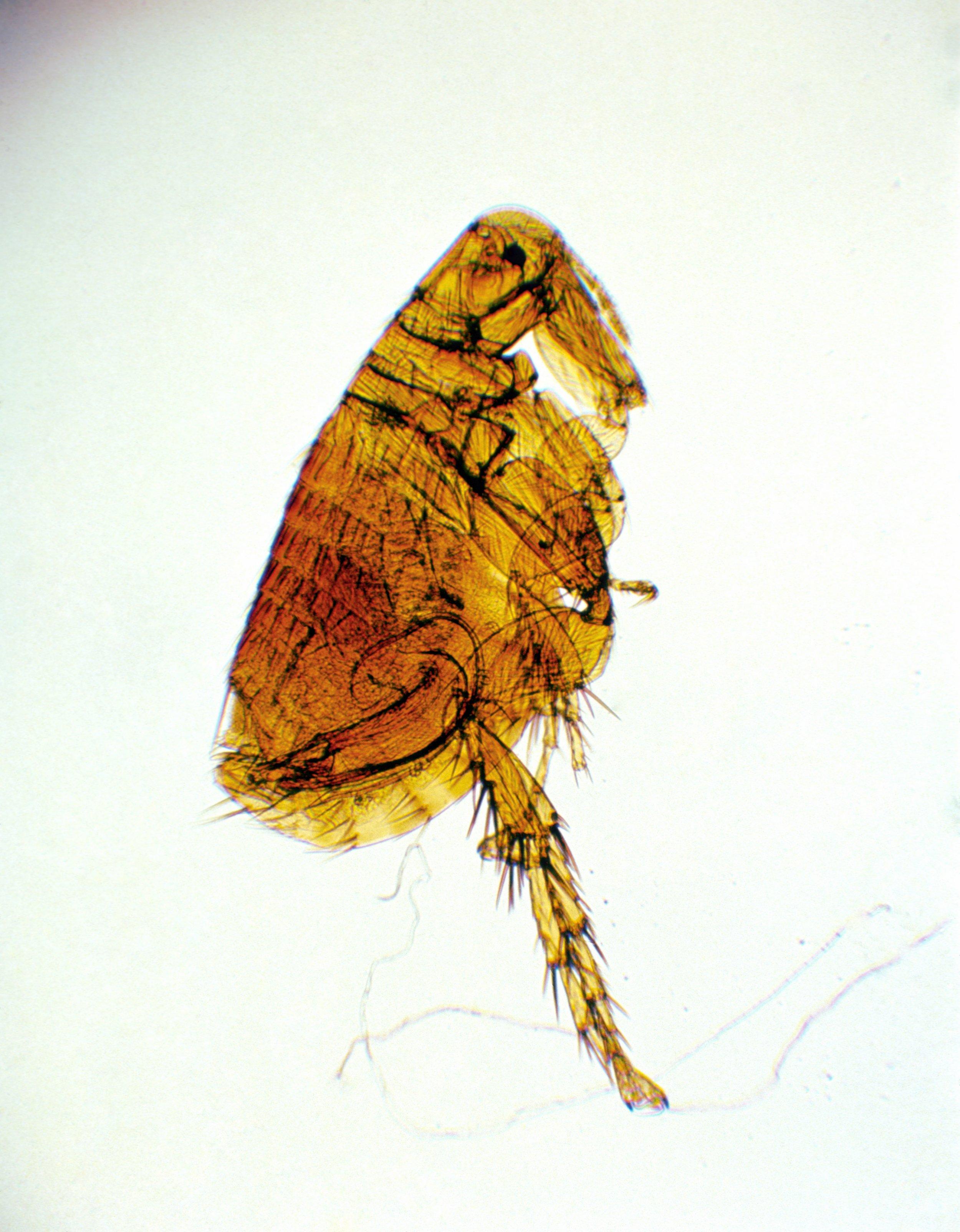 Plague: Fleas in Arizona Test Positive for Easily Spread ...