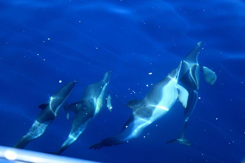 La_Palma_-_Tijarafe_-_Dolphin_(Fancy_II)_17_ies
