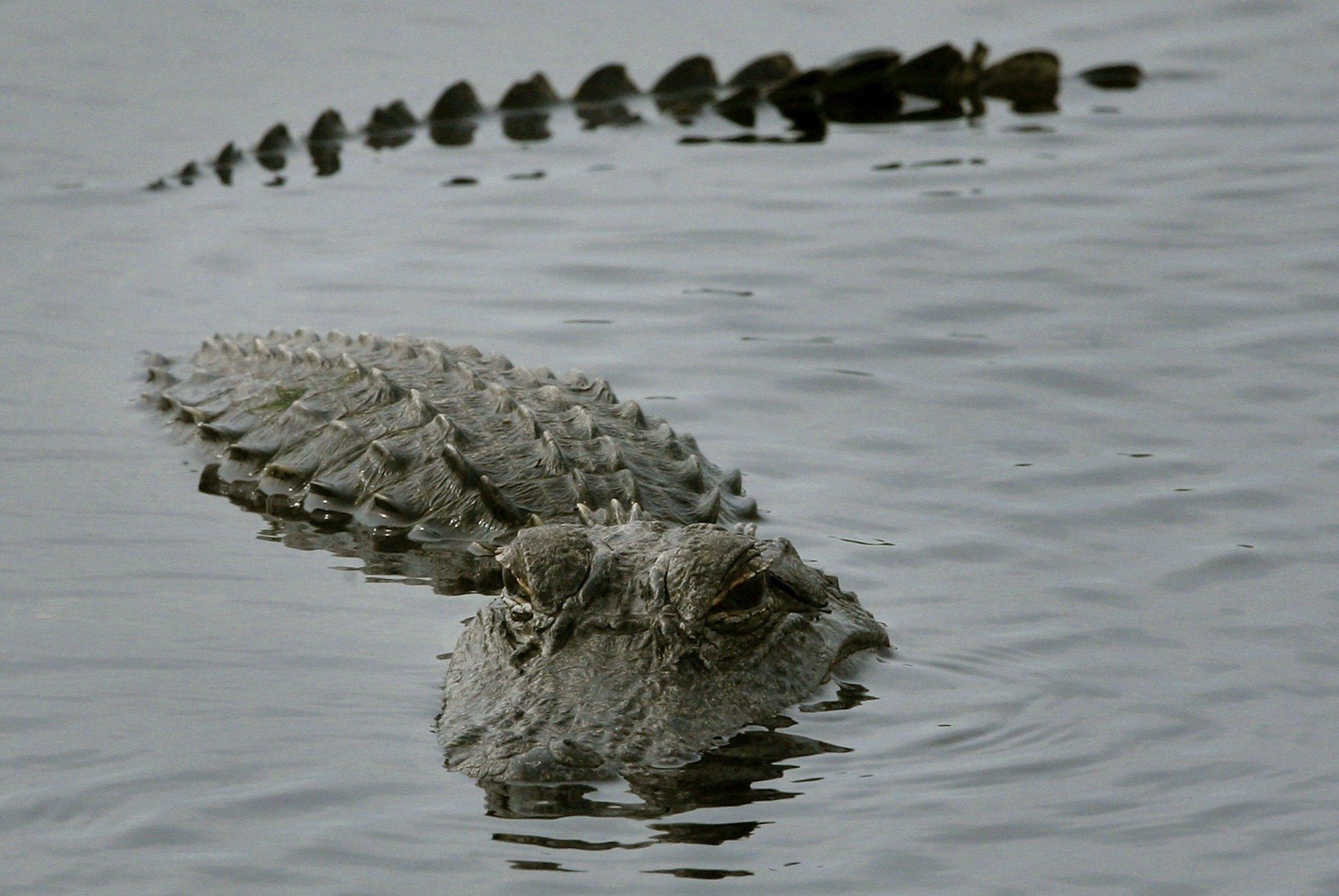 beware of alligators on the move during hurricane harvey