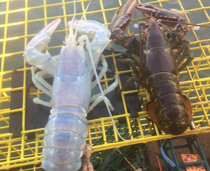 Extremely Rare Translucent 'Ghost' Lobster Caught off the Coast of Maine