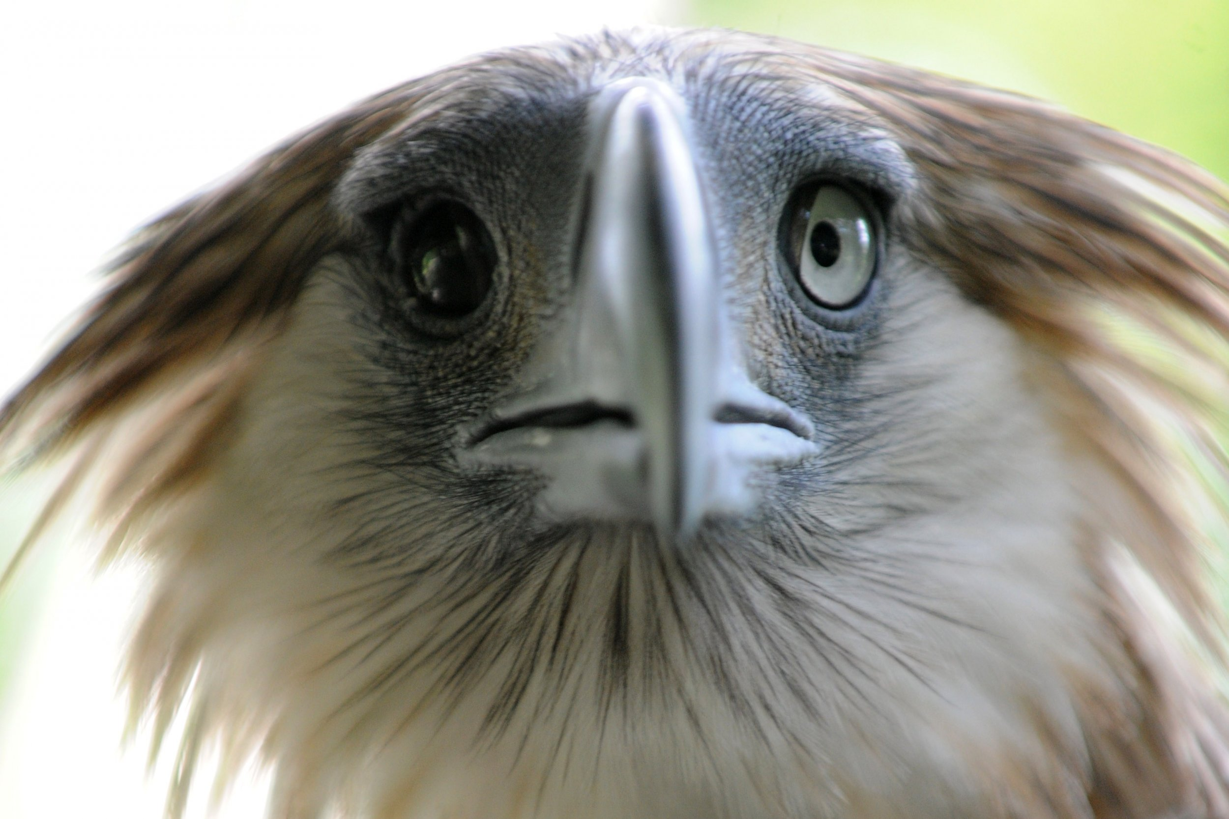 Syrian Rebels Return Eagle to Israel After It Flew Into ...