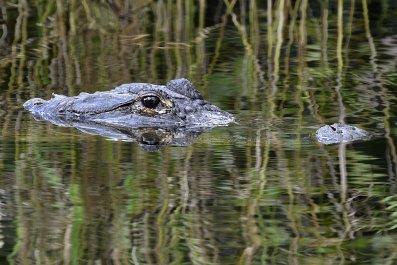 09_10_Alligator