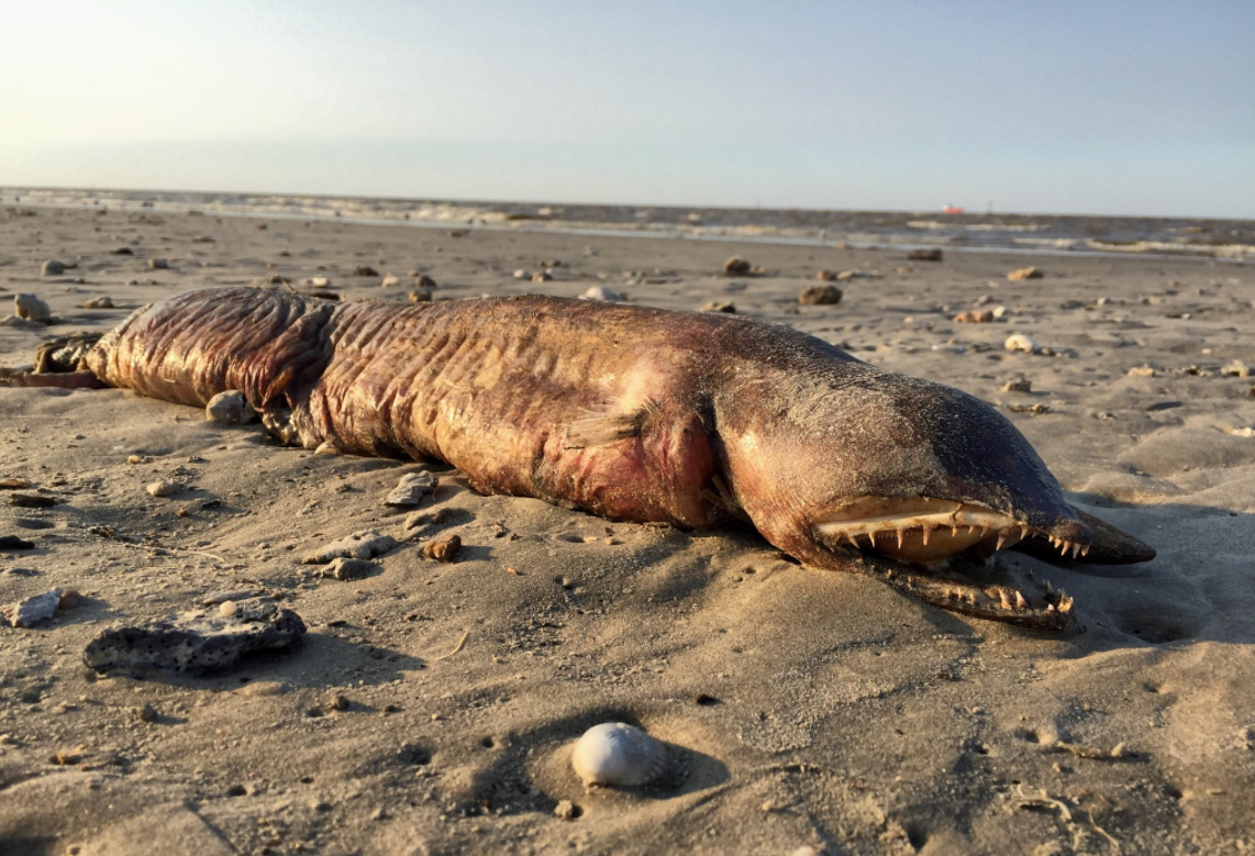 Mystery Fanged Sea Creature Washes Up On Texas Beach After