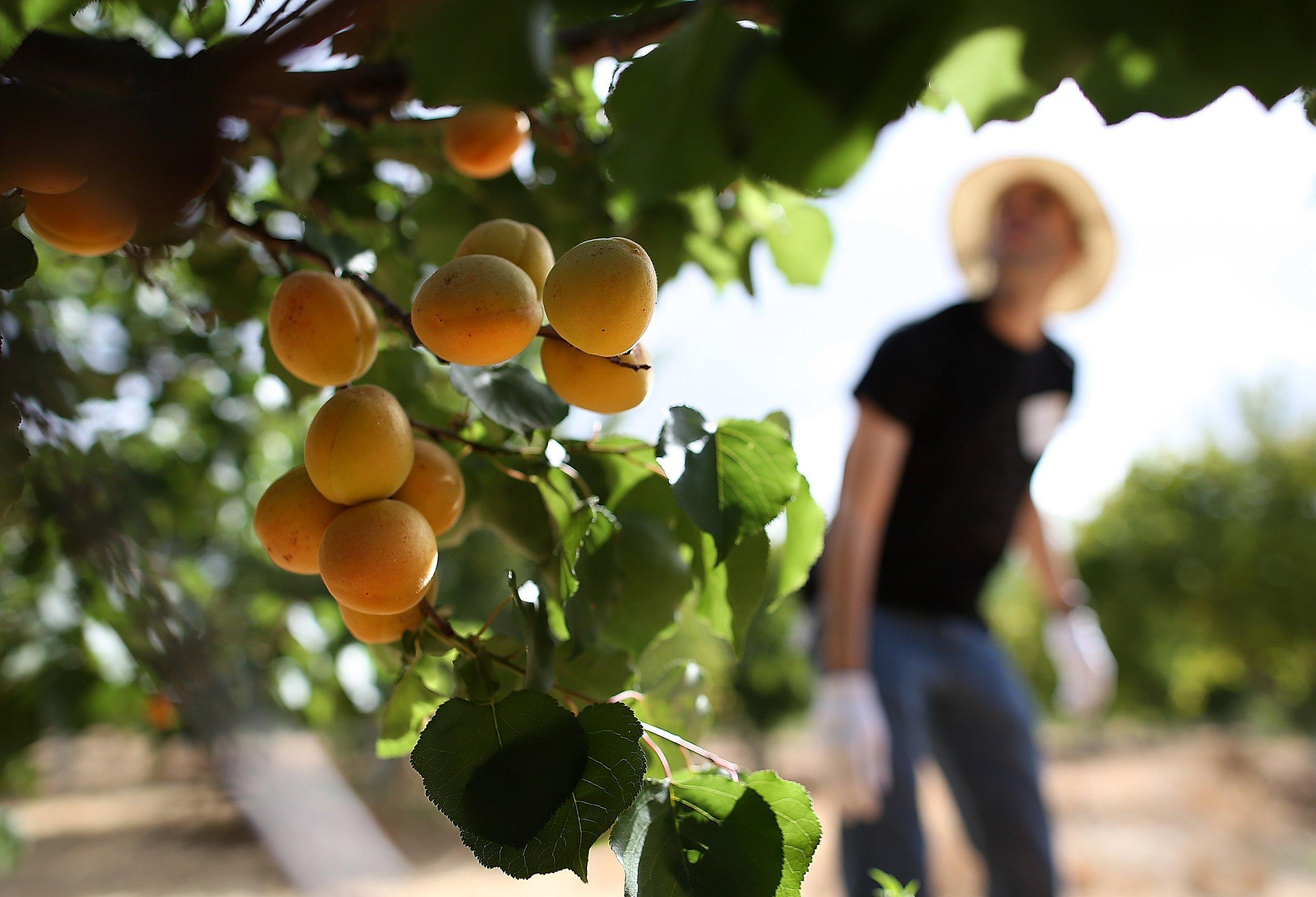 Apricot-Picking-09-14-2017