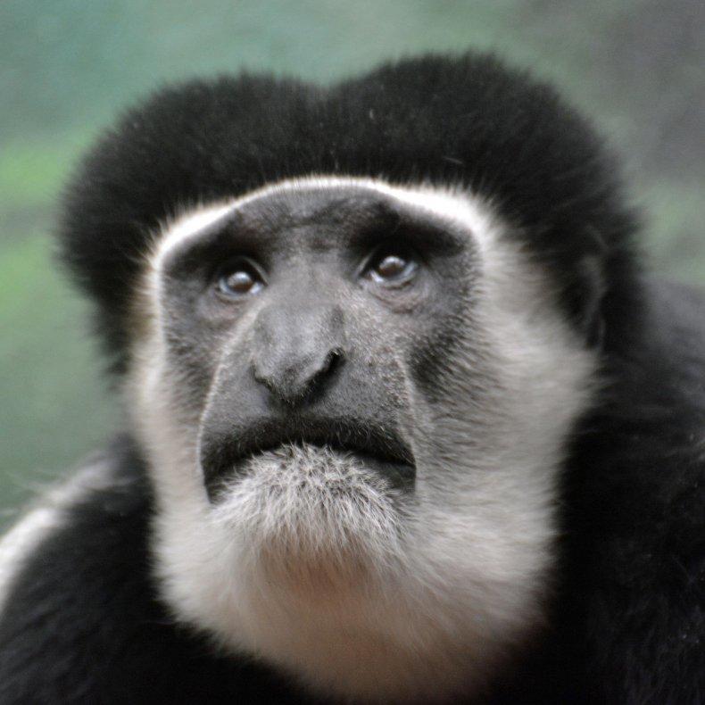 09_15_Colobus_Monkey