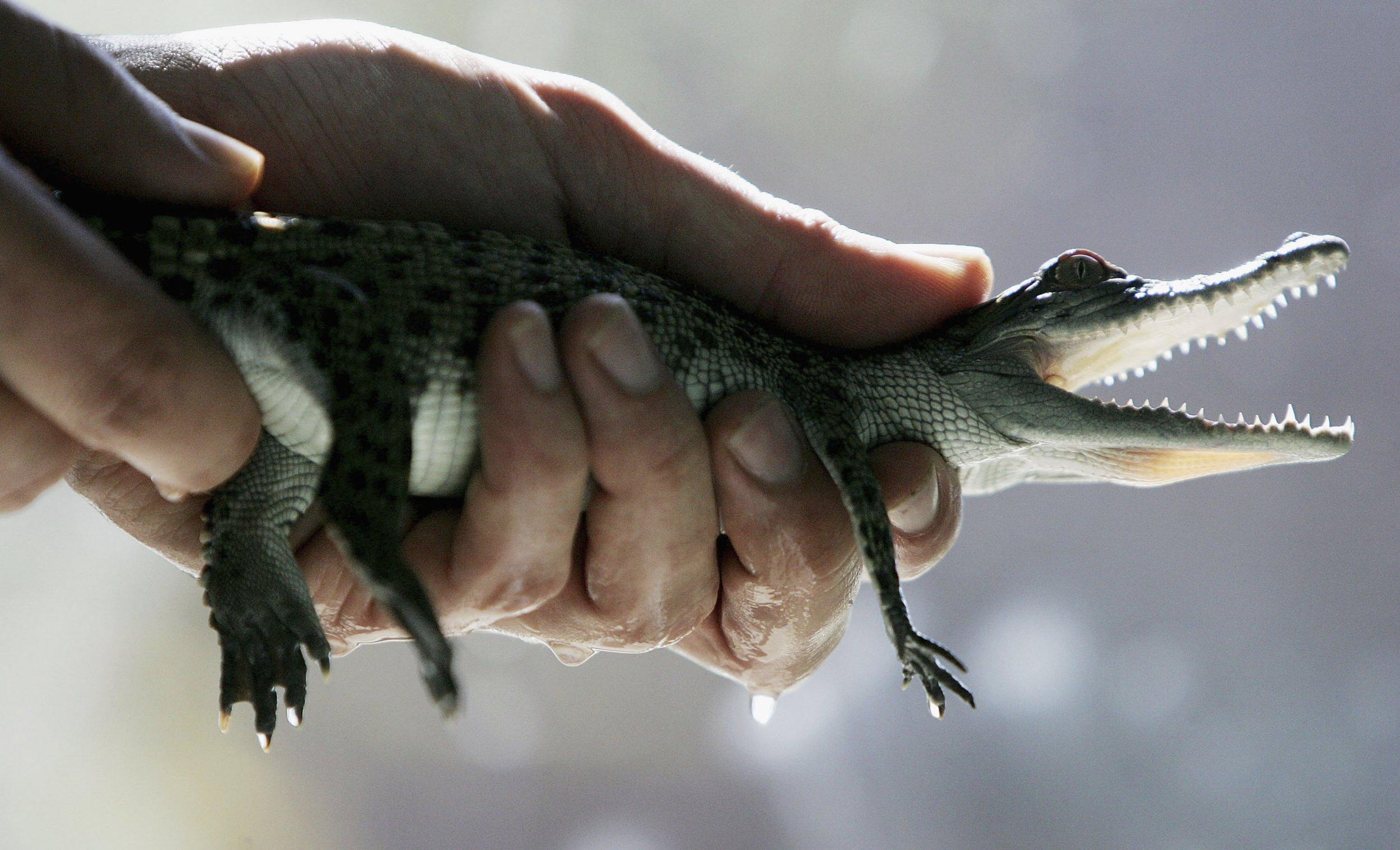 09_15_saltwater_crocodile