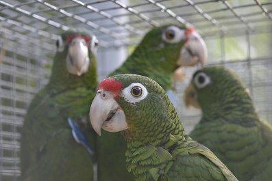 09_15_puerto_rican_parrot