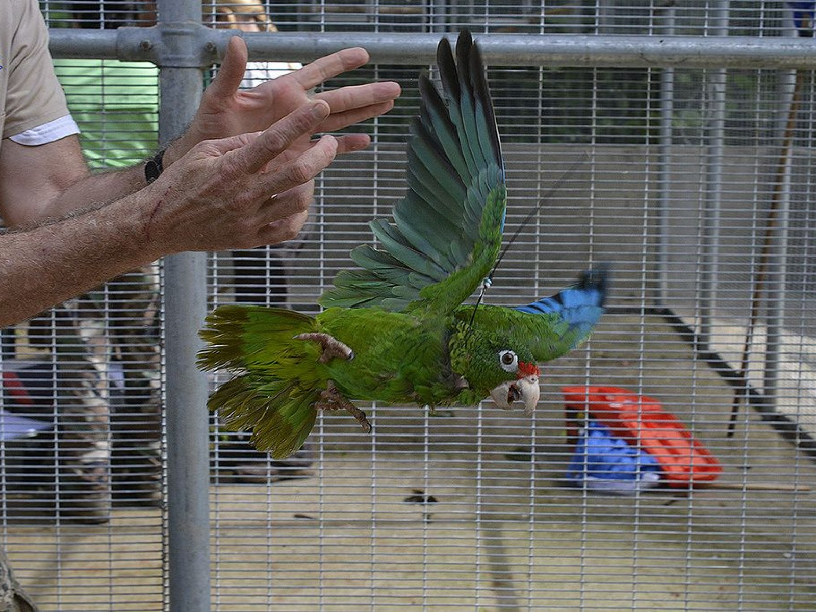 How 230 Endangered Parrots Survived Hurricane Irma in Puerto